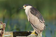 St芒rc de noapte (Nycticorax nycticorax)